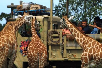 Six Flags Safari Giraffe; Sundance Vacations