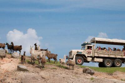 Six Flags Safari Pack of Alpaca; Sundance Vacations