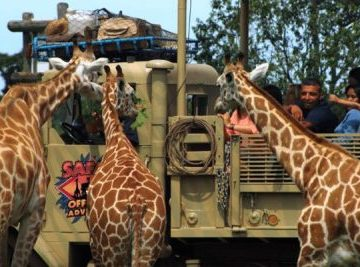 Six-Flags-Safari-Giraffe-Sundance-Vacations